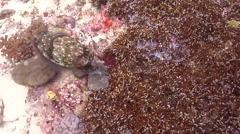 Female adult Broadclub cuttlefish laying eggs, Sepia latimanus, HD, UP18566 Stock Footage
