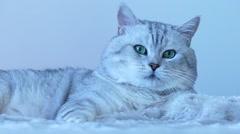 British chinchilla cat playing Stock Footage