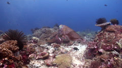 Broadclub cuttlefish, Sepia latimanus, HD, UP18576 Stock Footage