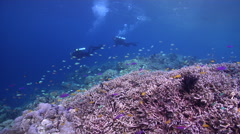 Buddy team of scuba divers drifting on very shallow reef and surface with Yellow Stock Footage