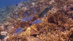 Humphead maori wrasse hunting on coral reef, Cheilinus undulatus, HD, UP18632 Stock Footage