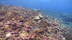 Longface emperor hunting on coral reef, Lethrinus olivaceus, HD, UP18642 Stock Footage