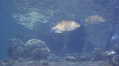 Lined rabbitfish swimming and schooling, Siganus lineatus, HD, UP18692 Stock Footage