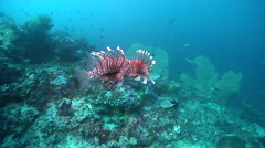 Common lionfish swimming on deep coral reef, Pterois volitans, HD, UP18741 Stock Footage