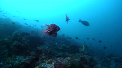 Common lionfish courting at dusk, Pterois volitans, HD, UP18746 Stock Footage