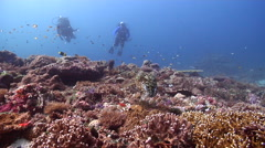 Buddy team of scuba divers swimming on deep coral reef with Broadclub cuttlefish Stock Footage