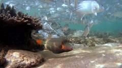 Orangestripe triggerfish (Balistapus undulatus) Stock Footage