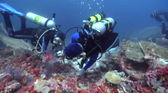 Group of scuba divers looking around on deep coral reef with Pygmy seahorse Stock Footage