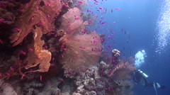 Lone diver taking images on wall in Solomon Islands, HD, UP18851 Stock Footage