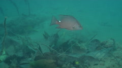 Timor snapper swimming, Lutjanus timorensis, HD, UP18852 Stock Footage