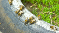 Bees drinking water. Stock Footage