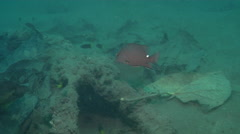 Timor snapper hiding, Lutjanus timorensis, HD, UP18853 Stock Footage