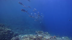 Bigeye trevally swimming and schooling, Caranx sexfasciatus, HD, UP18870 Stock Footage