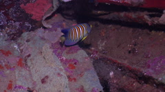 Regal angelfish swimming, Pygoplites diacanthus, HD, UP18931 Stock Footage