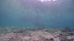 Yellowstripe scad swimming and schooling on sand and coral rubble, Selaroides Stock Footage