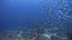 Yellowtail fusilier swimming and schooling on deep coral reef, Caesio cuning, - stock footage