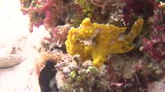Warty frogfish yawning, Antennarius maculatus, HD, UP18973 Stock Footage