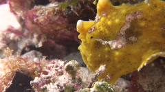 Warty frogfish walking, Antennarius maculatus, HD, UP18984 Stock Footage