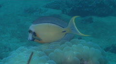 Mimic surgeonfish cleaning and being cleaned on cleaning station, Acanthurus Stock Footage
