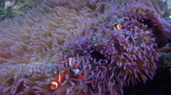 Clownfish swimming, Amphiprion percula, HD, UP28022 Stock Footage