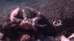 Adults and juveniles Porcelain crab feeding at dusk, Neopetrolisthes maculatus, Stock Footage
