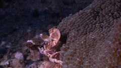 Porcelain crab feeding, Neopetrolisthes maculatus, HD, UP28092 Stock Footage