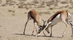 Springbok antelope play fighting Stock Footage