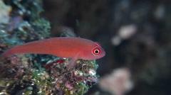 Red dwarfgoby feeding, Trimma benjamini, HD, UP28114 Stock Footage