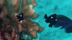 Juvenile Threespot damsel feeding on hard coral microhabitat, Dascyllus Stock Footage