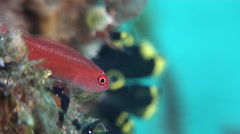 Bicolor coralblenny feeding, Ecsenius bicolor, HD, UP28118 Stock Footage
