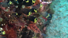 Juvenile Black-and-Yellow tunicates swimming, Clavelina zobustra, HD, UP28120 Stock Footage