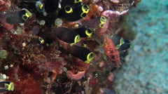 Juvenile Black-and-Yellow tunicates feeding, Clavelina zobustra, HD, UP28121 Stock Footage