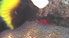 Adults and juveniles Panda clownfish tending eggs, Amphiprion polymnus, HD, Stock Footage