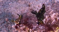Gold and olive lined slug feeding, Tambja olivaria, HD, UP28139 - stock footage
