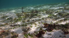 On sandy slope, Unidentified red algae, HD, UP28145 Stock Footage
