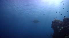 Reef manta ray swimming on wall, Manta alfredi, HD, UP28157 Stock Footage