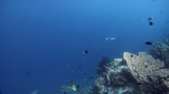 Reef manta ray swimming on wall, Manta alfredi, HD, UP28164 Stock Footage