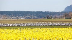 4K Migration Birds Skagit Valley Mt. Vernon WA Stock Footage