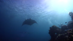 Reef manta ray swimming on shallow wall, Manta alfredi, HD, UP28182 - stock footage