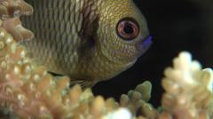 Reticulated damsel feeding on hard coral microhabitat, Dascyllus reticulatus, Stock Footage