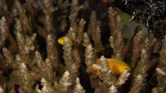 Adults and juveniles Yellow damsel feeding on hard coral microhabitat at dusk, Stock Footage