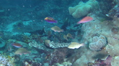Dotted wrasse swimming on deep coral reef at dusk, Cirrhilabrus punctatus, HD, Stock Footage