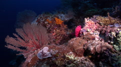 Ocean scenery nice fan and SD eggs, on deep coral reef, HD, UP28271 Stock Footage