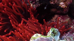 Spine-cheek Anemonefish hiding on deep coral reef, Premnas biaculeatus, HD, Stock Footage