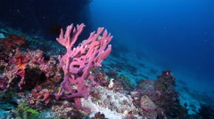 Pink branching sponge on deep coral reef, Clathria sp., HD, UP28285 Stock Footage