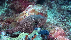 Map pufferfish hovering on deep coral reef, Arothron mappa, HD, UP28289 Stock Footage
