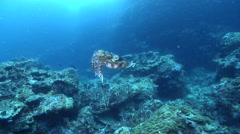 Broadclub cuttlefish displaying on deep coral reef, Sepia latimanus, HD, UP28291 Stock Footage