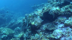 Broadclub cuttlefish courting on deep coral reef, Sepia latimanus, HD, UP28294 Stock Footage