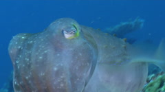 Broadclub cuttlefish swimming on deep coral rubble, Sepia latimanus, HD, UP28296 Stock Footage