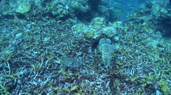 Broadclub cuttlefish swimming on deep coral rubble, Sepia latimanus, HD, UP28300 Stock Footage